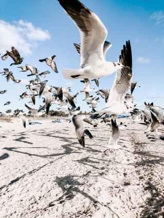 flock of flying gulls above shore